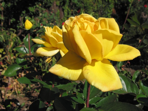 Yellow Rose Bushes Types Yellow rose needed more waterYellow Rose Bushes Types