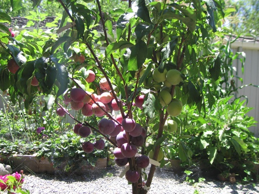I Planted This Pluot Tree In Our Yard Three Years Ago It Has Four Scions Grafted Onto One The Are Flavor King Queen